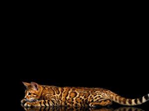 Fotos Katze Bengalkatze Schwarzer Hintergrund Schwanz Tiere Tiere