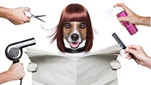 Bilder Hunde Weißer hintergrund Jack Russell Terrier Haar Starren Hand Tiere
