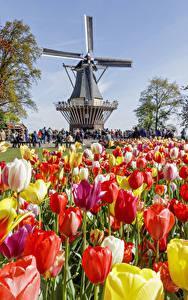 Hintergrundbilder Niederlande Park Tulpen Viel Mühle Keukenhof Blumen