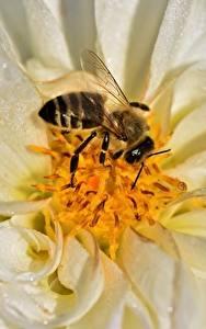 Hintergrundbilder Georginen Großansicht Bienen Insekten Tiere