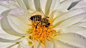 Hintergrundbilder Georginen Hautnah Bienen Insekten Tiere