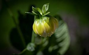 Hintergrundbilder Georginen Hautnah Unscharfer Hintergrund Blütenknospe Blüte