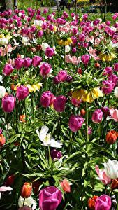 Fotos Niederlande Park Tulpen Schachblume Keukenhof Blumen