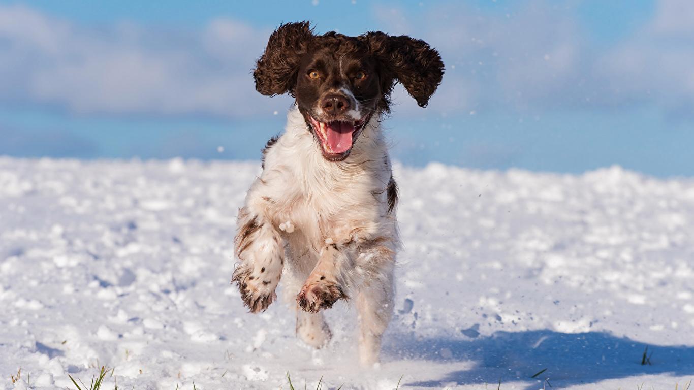 Hintergrundbilder Spaniel Hunde Laufsport cocker spaniel Schnee Tiere 1366x768 Lauf Laufen
