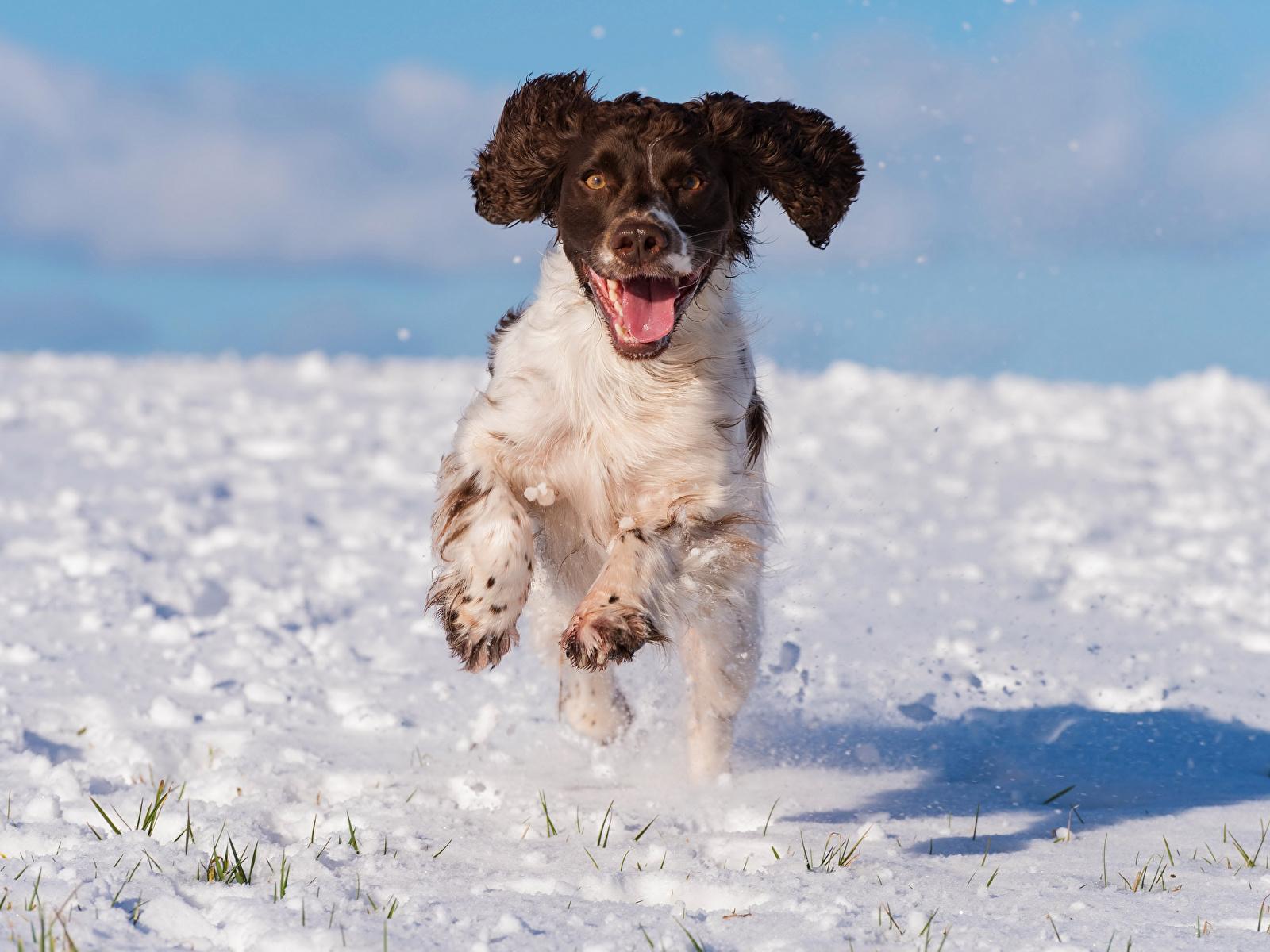 Hintergrundbilder Spaniel Hunde Laufsport cocker spaniel Schnee Tiere 1600x1200 Lauf Laufen