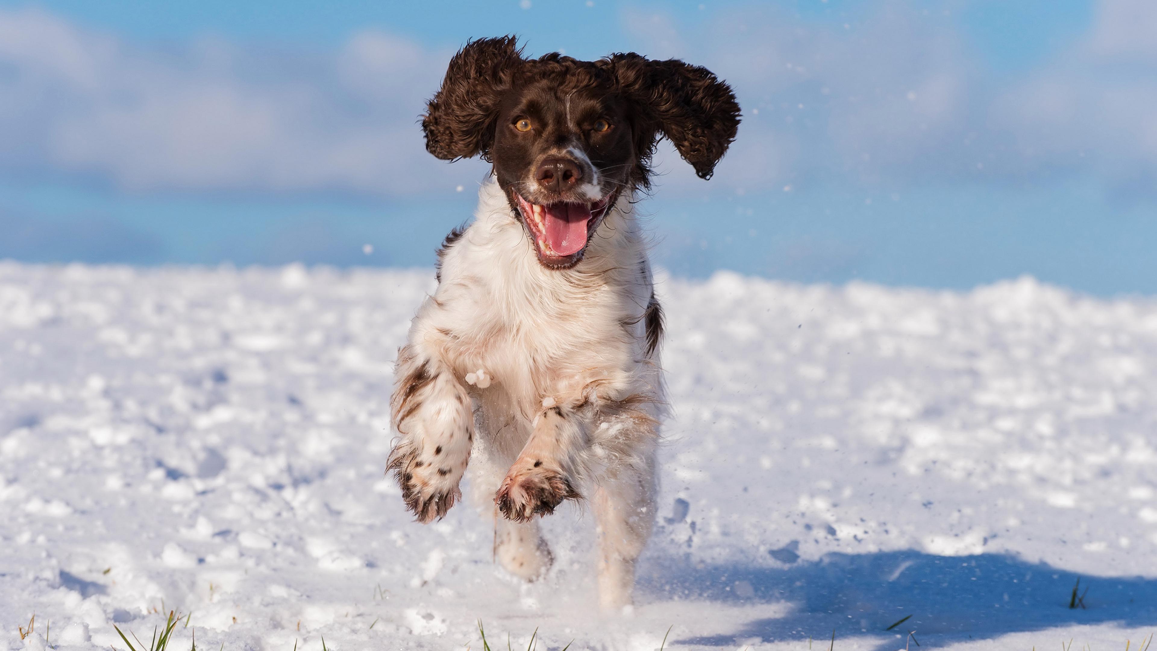 Hintergrundbilder Spaniel Hunde Laufsport cocker spaniel Schnee Tiere 3840x2160 Lauf Laufen