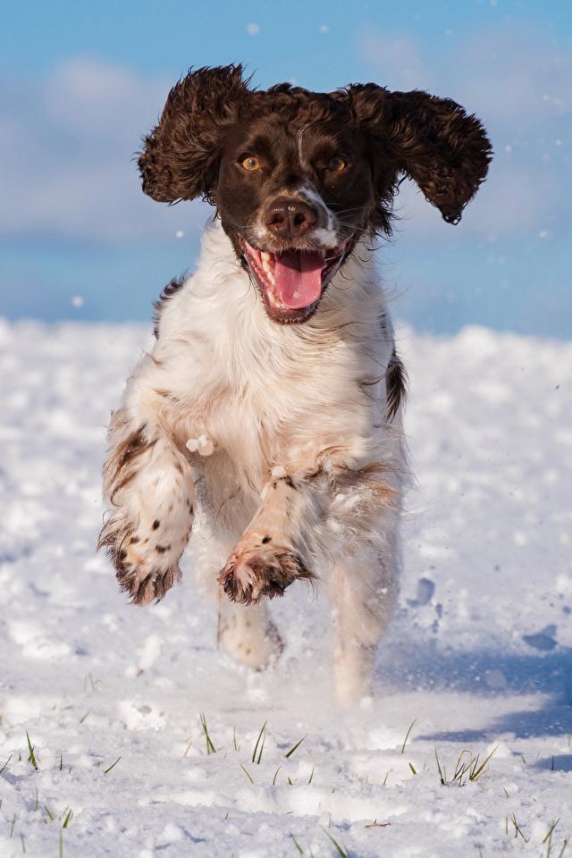 Hintergrundbilder Spaniel Hunde Laufsport cocker spaniel Schnee Tiere 640x960 Lauf Laufen