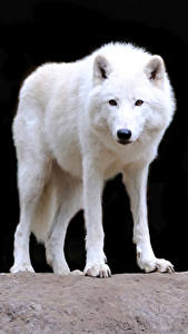 Photo Wolves White Animals