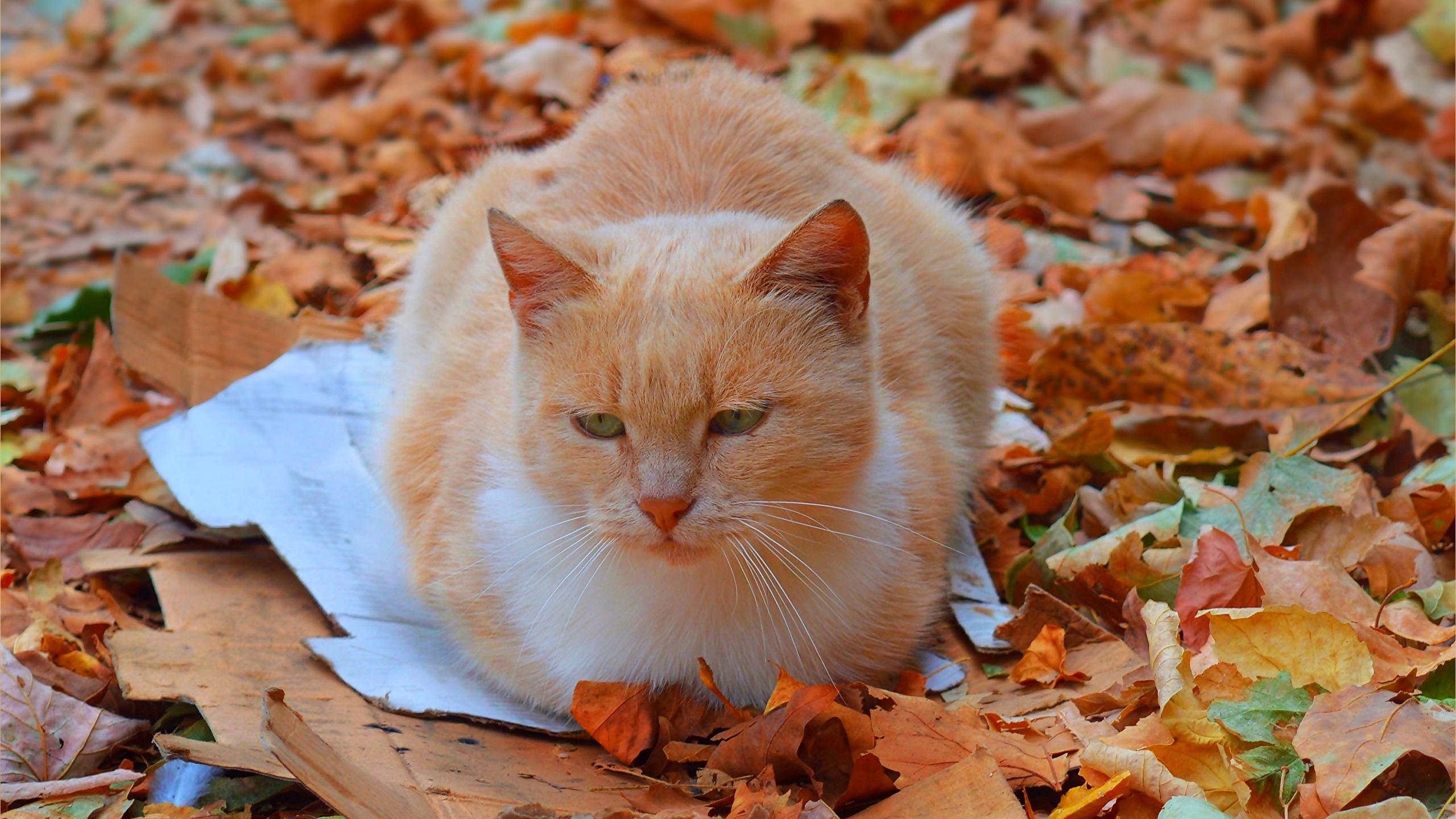 壁紙2560x1440飼い猫オレンジ色動物木の葉動物
