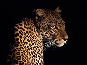 Hintergrundbilder Große Katze Leopard Schnurrhaare Vibrisse Schwarzer Hintergrund Tiere