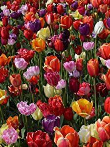 Hintergrundbilder Tulpen Viel Großansicht Blüte