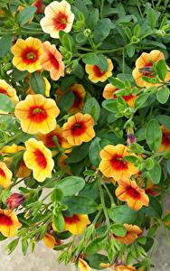 Fotos Calibrachoa Ast Blumen