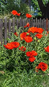 Bilder Mohn Zaun Blüte