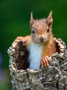Fotos Hörnchen Nagetiere Starren Unscharfer Hintergrund Tiere