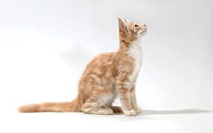 Fotos Katze Grauer Hintergrund Sitzend Starren Tiere