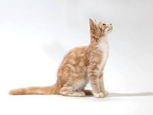 Fotos Katze Grauer Hintergrund Sitzen Starren Tiere