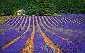Bilder Frankreich Felder Lavendel Valensole Natur