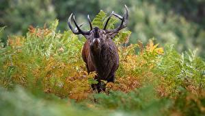 Fotos Hirsche Unscharfer Hintergrund Horn Schreiendes ein Tier