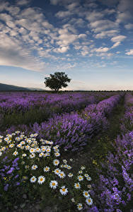 Fotos Landschaftsfotografie Acker Lavendel Himmel Kamillen Wolke