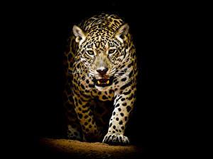 Bilder Große Katze Leopard Schwarzer Hintergrund Tiere