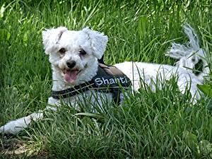 Bilder Hunde Gras Liegt Zunge Bichon Frise Tiere