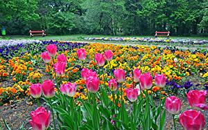 Fotos Ungarn Park Tulpen Garten-Stiefmütterchen Botanical garden Szeged Natur Blumen
