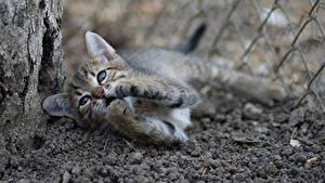 Bilder Katzen Kätzchen Pfote Blick ein Tier
