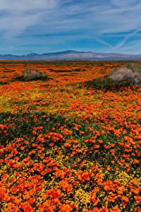 Hintergrundbilder Vereinigte Staaten Viel Mohnblumen Felder Kalifornien Orange Lancaster Blumen
