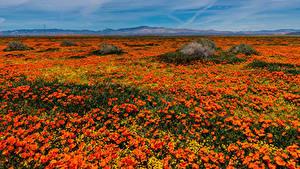 Hintergrundbilder Vereinigte Staaten Viel Mohnblumen Felder Kalifornien Orange Lancaster Natur Blumen