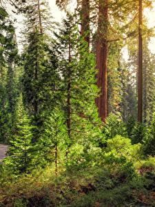 Hintergrundbilder Vereinigte Staaten Park Kalifornien Baumstamm Fichten King's Canyon National Park Natur