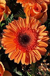 Hintergrundbilder Gerbera Rosen Großansicht Orange Blumen