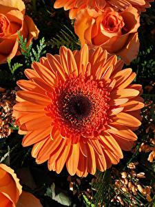 Hintergrundbilder Gerbera Rosen Hautnah Orange Blüte