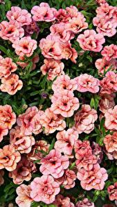 Hintergrundbilder Calibrachoa Viel Rosa Farbe Blumen