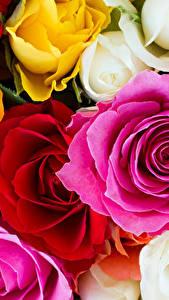 Bilder Rose Großansicht Blumen
