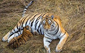 Bilder Große Katze Tiger Jungtiere Heu 2