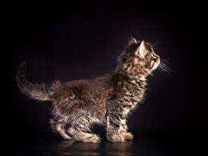 Hintergrundbilder Katze Schwarzer Hintergrund Katzenjunges Tiere