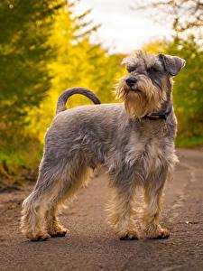 Bilder Hunde Straße Schnauzer Tiere