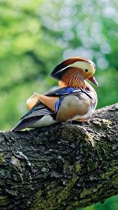 Bilder Vogel Entenvögel Baumstamm Mandarin duck