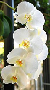 Hintergrundbilder Orchideen Großansicht Weiß Blumen