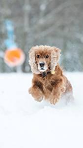 Fotos Winter Hunde Bokeh Schnee Laufsport Spaniel ein Tier