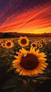 Hintergrundbilder Sonnenaufgänge und Sonnenuntergänge Sonnenblumen Acker Blumen Natur