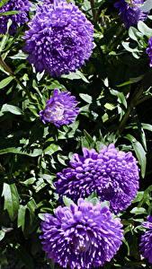 Fotos Astern Nahaufnahme Violett Blumen