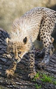 Fotos Gepard Jungtiere Blick