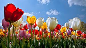 Fotos Tulpen Hautnah Viel Himmel Blüte