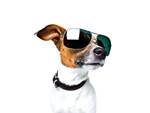 Fotos Hunde Jack Russell Terrier Brille Weißer hintergrund Kopf Schnauze Tiere