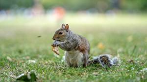 Bilder Eichhörnchen Unscharfer Hintergrund Gras ein Tier