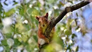 Bilder Hörnchen Ast Unscharfer Hintergrund ein Tier
