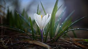 Fotos Krokusse Hautnah Gras Weiß Tropfen Blumen