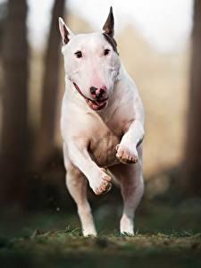Desktop hintergrundbilder Hund Laufen Sprung Weiß Bullterrier Tiere