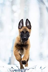 Hintergrundbilder Hunde Laufsport Welpe Shepherd Malinois